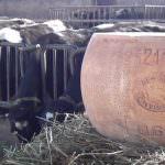 Parmigiano Reggiano Bonat da record: 18 anni di stagionatura, 33 kg venduto a 10.000 Euro