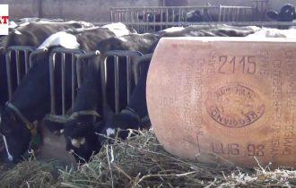 Bonat, Parmigiano Reggiano da record: 18 anni di stagionatura, 33 kg venduto a 10.000 Euro