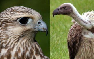 Predatori e pre de: il Falco Avvoltoio mangia imprenditori e imprese
