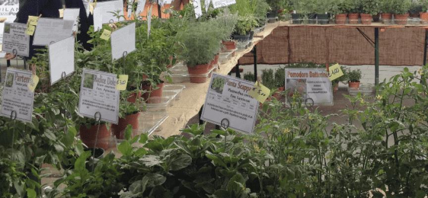 Milano mostra mercato di piante aromatiche a piazza portello for Mercato domenica milano