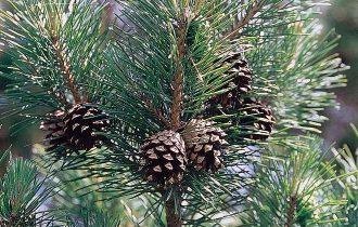 Creare la plastica utilizzando gli aghi di pino?