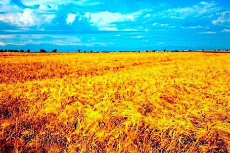 campi di grano GRANI FUTURI SAN MARCO (1)