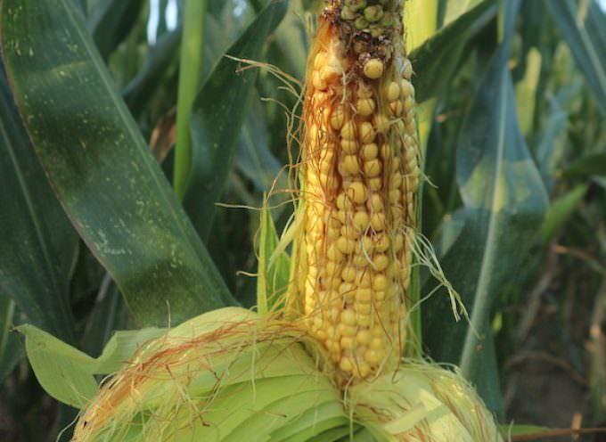 """Mais  OGM, gli scienziati: """" Non c'è alcuna evidenza di rischio per la salute umana"""""""