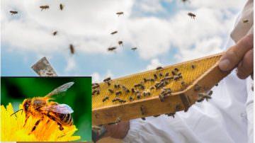 Apicoltura in crisi, estate 2017: caldo torrido, poca pioggia… poco miele