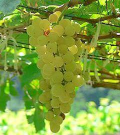 Chenin nella Loira: la riscoperta dei vitigni autoctoni antichi