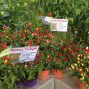 8-9 settembre, mostra mercato del peperoncino a Piazza Portello