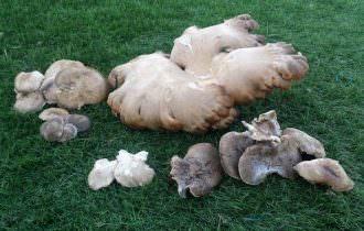 Fungo cardoncello gigante trovato sull'Alta Murgia