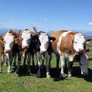 Riduzione antibiotici negli allevamenti bovini grazie a INALCA