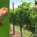 Clima che cambia: E' vero che i  vitigni antichi resistono meglio?