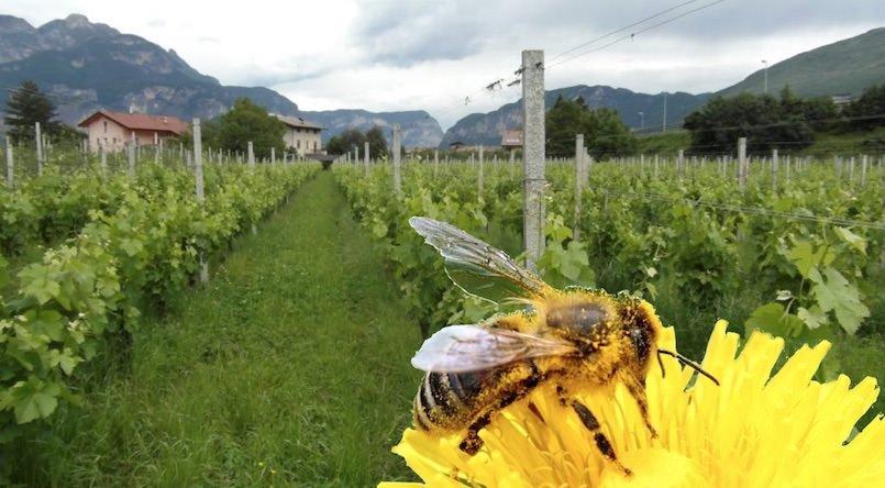 IL Vino fa buon sangue, il Vino Bio è ancora meglio? Status quo del Vino Biologico