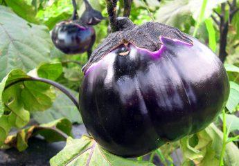 Scoperto il genoma della melanzana