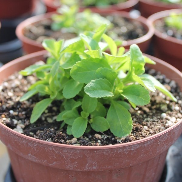 stevia-coltivazione