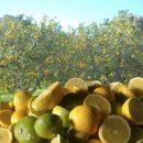 Novità Bergamotto di Reggio Calabria, nasce Bergamia nuova cooperativa agricola