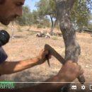 Mario Cicero, produttore di manna Madonita nel suo frassineto (Video)