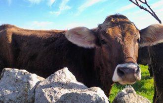 Arriva il monolatte, da Bari il rilancio del latte di sola mucca di razza Bruna