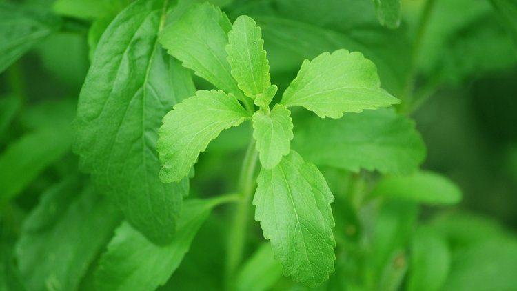 Stevia: lo zucchero buono che si coltiva sul nostro balcone