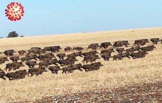 Agricoltori in Alta Murgia tra Coronavirus, cinghiali e prolungata siccità!