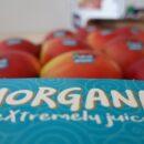 La succosità di Morgana incanta il mercato europeo