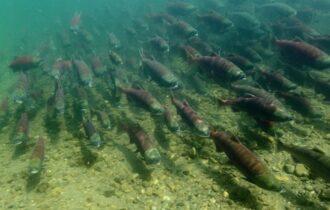 Si apre la stagione di pesca del salmone rosso… nonostante Covid-19