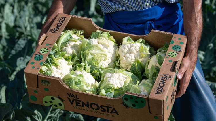 Cavolfiore Val Venosta, una eccellenza disponibile dai primi giugno