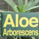 Aloe Arborescens ha pricipi attivi tripli di Aloe Vera… e lo si coltiva in Italia