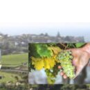 """Il Pignoletto diventa DOC """"Emilia Romagna"""": l'accordo tra Consorzio, Regione e Ministero verso lo sprint finale per il riconoscimento della nuova denominazione"""