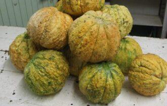 Gli Antichi meloni reggiani sono un nuovo Presidio Slow Food