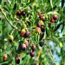 Puglia, la lotta degli antichi ulivi, per un olio extravergine di prima qualità