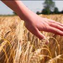 """AGRICOLTURA: IN LEGGE DI BILANCIO NASCE """"GRANAIO ITALIA"""" PER IL MONITORAGGIO DEI CEREALI"""