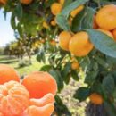 Prezzi agrumi in picchiata in Basilicata, produttori in ginocchio!