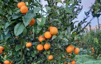 Clementine, le strategie di Apofruit