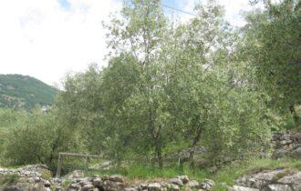 Olive in Trentino, più 40% rispetto al record del 2018. Giovedì a confronto le regioni produttive del nord est Italia e della Slovenia