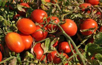 Pomodoro da industria: depositati 131 contratti al Nord Italia