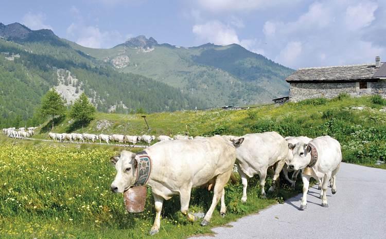La transumanza di San Giovanni: in Piemonte