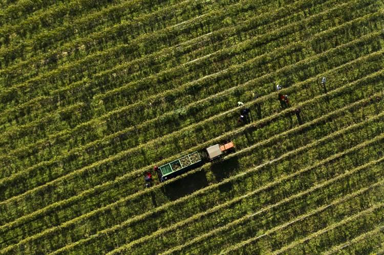 Lugana DOC, via libera al 50% del vino stoccato